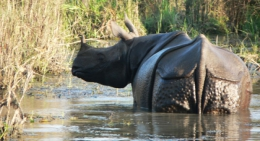 One-horned-rhino-chitwan-national-park