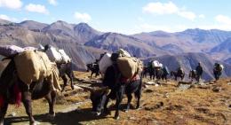 yak-carrying-loads